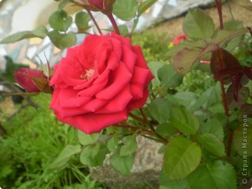 Цветы, все эти цветы вырастила моя мама. Правда, я не знаю название всех цветов, но если нужно, вечером смогу написать их названия.  На фото тюльпаны. фото 10