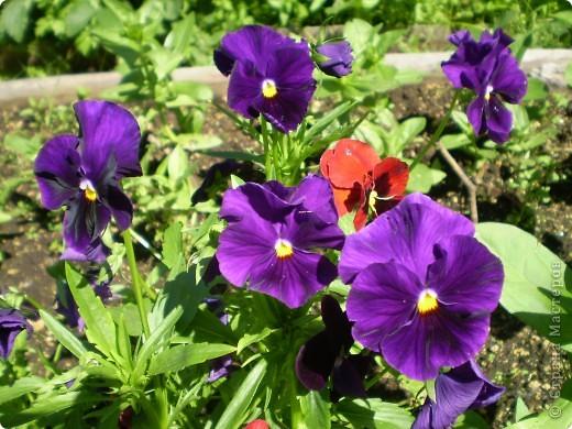 Цветы, все эти цветы вырастила моя мама. Правда, я не знаю название всех цветов, но если нужно, вечером смогу написать их названия.  На фото тюльпаны. фото 16
