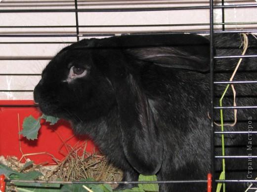 После опреции нашему кролику, уже прошло 3 месяца, и я решила поделиться впечатлениями: агрессия - прошла! У кролика появился четкий график, что очень удобно! Когда нужно ложиться младшей дочери спать, Кнопик, часто, к этому времени сам покидает нашу спальню!  фото 3