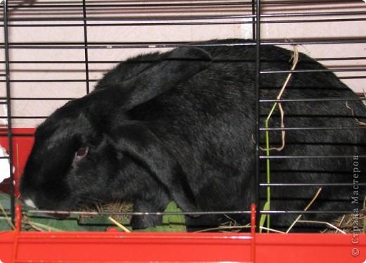 После опреции нашему кролику, уже прошло 3 месяца, и я решила поделиться впечатлениями: агрессия - прошла! У кролика появился четкий график, что очень удобно! Когда нужно ложиться младшей дочери спать, Кнопик, часто, к этому времени сам покидает нашу спальню!  фото 4