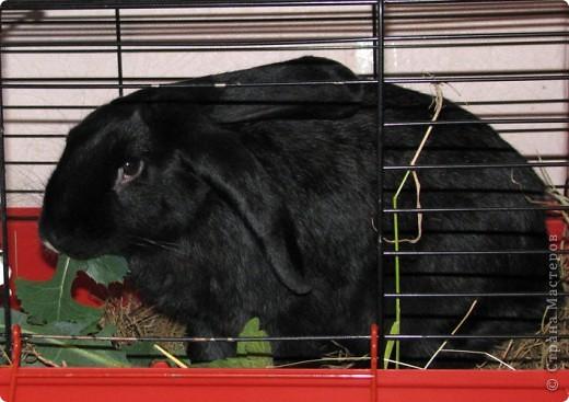 После опреции нашему кролику, уже прошло 3 месяца, и я решила поделиться впечатлениями: агрессия - прошла! У кролика появился четкий график, что очень удобно! Когда нужно ложиться младшей дочери спать, Кнопик, часто, к этому времени сам покидает нашу спальню!  фото 5