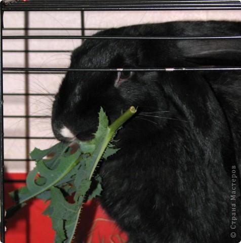 После опреции нашему кролику, уже прошло 3 месяца, и я решила поделиться впечатлениями: агрессия - прошла! У кролика появился четкий график, что очень удобно! Когда нужно ложиться младшей дочери спать, Кнопик, часто, к этому времени сам покидает нашу спальню!  фото 6