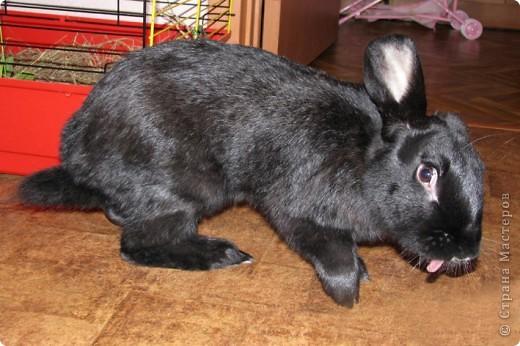 После опреции нашему кролику, уже прошло 3 месяца, и я решила поделиться впечатлениями: агрессия - прошла! У кролика появился четкий график, что очень удобно! Когда нужно ложиться младшей дочери спать, Кнопик, часто, к этому времени сам покидает нашу спальню!  фото 8