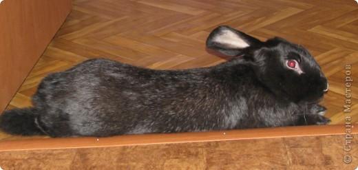 После опреции нашему кролику, уже прошло 3 месяца, и я решила поделиться впечатлениями: агрессия - прошла! У кролика появился четкий график, что очень удобно! Когда нужно ложиться младшей дочери спать, Кнопик, часто, к этому времени сам покидает нашу спальню!  фото 9