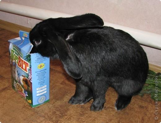 После опреции нашему кролику, уже прошло 3 месяца, и я решила поделиться впечатлениями: агрессия - прошла! У кролика появился четкий график, что очень удобно! Когда нужно ложиться младшей дочери спать, Кнопик, часто, к этому времени сам покидает нашу спальню!  фото 12