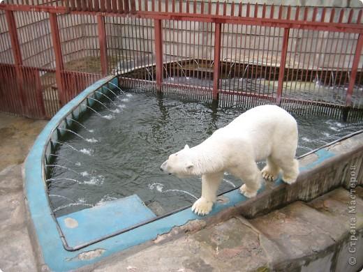Мои дети съездили в Екатеринбург и побывали в зоопарке. Привезли фотографии, чтобы порадовать меня. Не все удачные, но кое-что я выбрала. Это белый медведь. фото 1