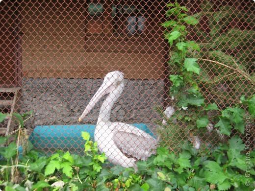 Мои дети съездили в Екатеринбург и побывали в зоопарке. Привезли фотографии, чтобы порадовать меня. Не все удачные, но кое-что я выбрала. Это белый медведь. фото 24