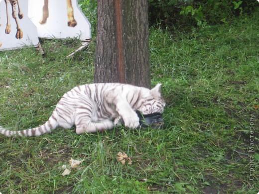 Мои дети съездили в Екатеринбург и побывали в зоопарке. Привезли фотографии, чтобы порадовать меня. Не все удачные, но кое-что я выбрала. Это белый медведь. фото 2