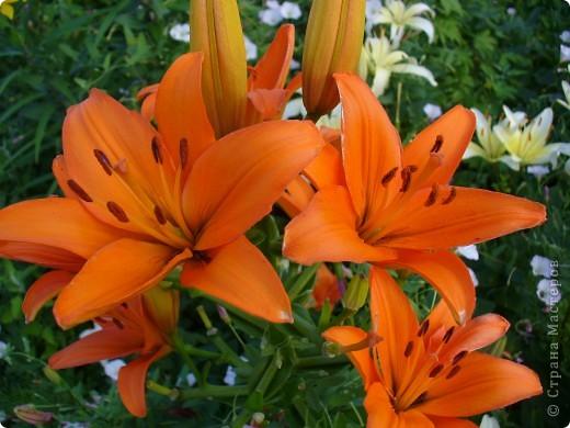 """Люблю я лилии и всё тут! Особенно люблю азиатские гибриды, они не выкапываются и прекрасно зимуют даже у нас. Две первые лилии- мои новинки. Серия """"Танго"""" ,лилия называется """"Чёрный паук"""". фото 4"""