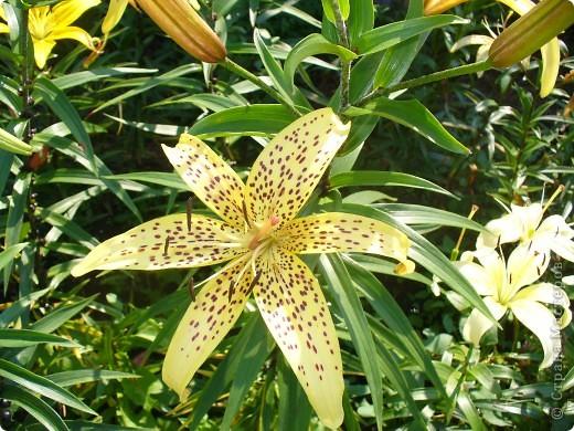 """Люблю я лилии и всё тут! Особенно люблю азиатские гибриды, они не выкапываются и прекрасно зимуют даже у нас. Две первые лилии- мои новинки. Серия """"Танго"""" ,лилия называется """"Чёрный паук"""". фото 9"""