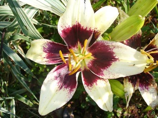 """Люблю я лилии и всё тут! Особенно люблю азиатские гибриды, они не выкапываются и прекрасно зимуют даже у нас. Две первые лилии- мои новинки. Серия """"Танго"""" ,лилия называется """"Чёрный паук"""". фото 1"""