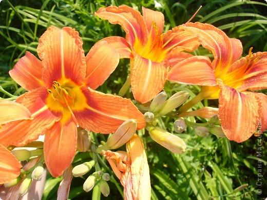 """Люблю я лилии и всё тут! Особенно люблю азиатские гибриды, они не выкапываются и прекрасно зимуют даже у нас. Две первые лилии- мои новинки. Серия """"Танго"""" ,лилия называется """"Чёрный паук"""". фото 11"""