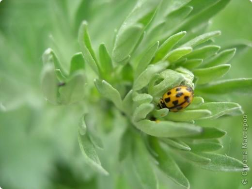 из жизни насекомых -божьи коровки и светлячки фото 6