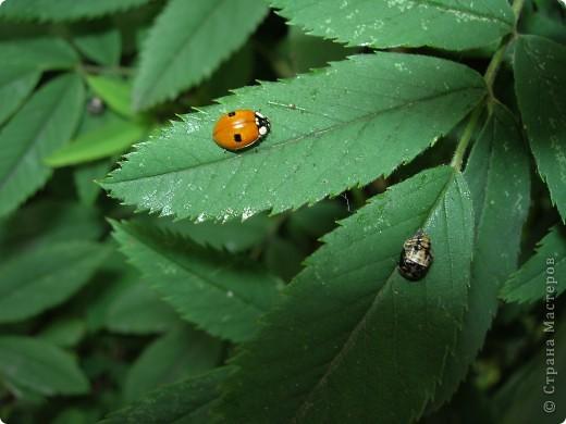 из жизни насекомых -божьи коровки и светлячки фото 2