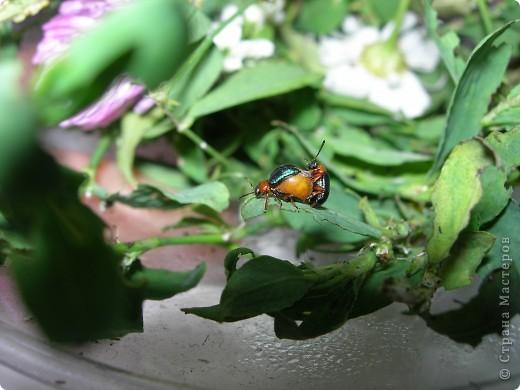 из жизни насекомых -божьи коровки и светлячки фото 11