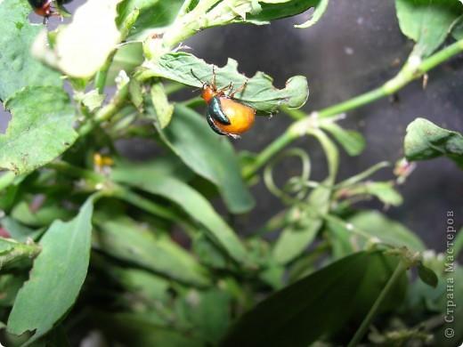 из жизни насекомых -божьи коровки и светлячки фото 12