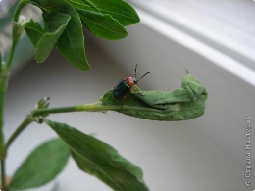 из жизни насекомых -божьи коровки и светлячки фото 13