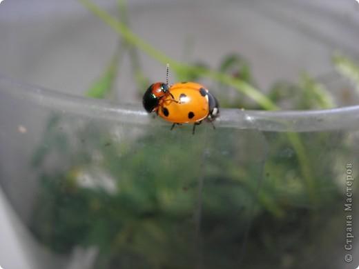 из жизни насекомых -божьи коровки и светлячки фото 8