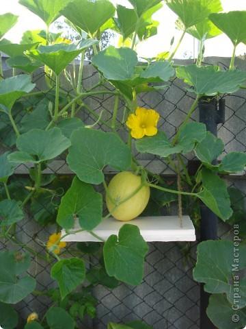 В связи с тем, что у нас очень маленький участок земли, но очень захотелось вырастить тыкву, решили попробовать вот такой способ ее выращивания, его подсказала моя мама.    фото 2