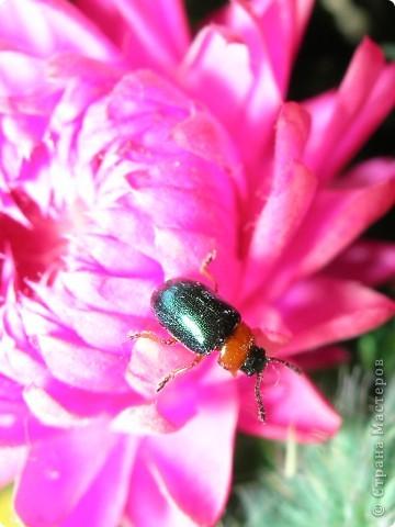 из жизни насекомых -божьи коровки и светлячки фото 9