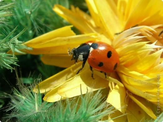 из жизни насекомых -божьи коровки и светлячки фото 1