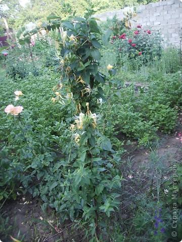 Я живу в квартире, но возле дома у каждого жильца есть небольшой свой участочек земли, и мне очень захотелось из него сотворить не огород под овощи, а цветущую клумбу, вот что у меня получилась, думаю вам будет приятно посмотреть!!! Конечно я дизайнер - а муж моя рабочая сила, без него я бы такое не соорудила!!! фото 54