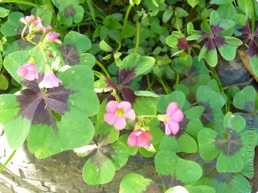 """Сейчас пионы уже не цветут, но благодаря фото, мы можем увидеть как они цвели весной.Сорт пиона """"Китайский шолк"""". фото 8"""