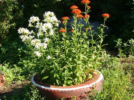 """Сейчас пионы уже не цветут, но благодаря фото, мы можем увидеть как они цвели весной.Сорт пиона """"Китайский шолк"""". фото 12"""