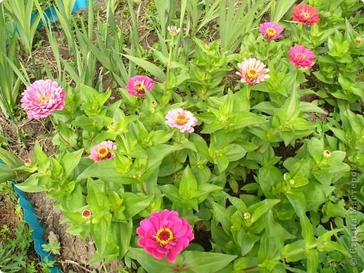 """Сейчас пионы уже не цветут, но благодаря фото, мы можем увидеть как они цвели весной.Сорт пиона """"Китайский шолк"""". фото 5"""