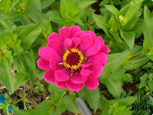 """Сейчас пионы уже не цветут, но благодаря фото, мы можем увидеть как они цвели весной.Сорт пиона """"Китайский шолк"""". фото 6"""