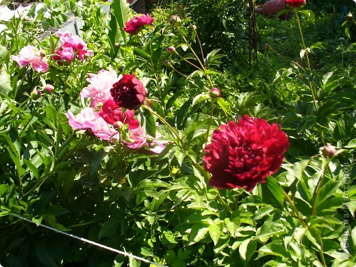 """Сейчас пионы уже не цветут, но благодаря фото, мы можем увидеть как они цвели весной.Сорт пиона """"Китайский шолк"""". фото 2"""