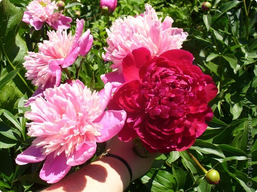 """Сейчас пионы уже не цветут, но благодаря фото, мы можем увидеть как они цвели весной.Сорт пиона """"Китайский шолк"""". фото 3"""
