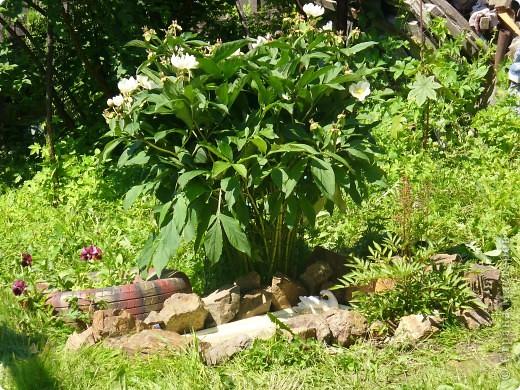 """Сейчас пионы уже не цветут, но благодаря фото, мы можем увидеть как они цвели весной.Сорт пиона """"Китайский шолк"""". фото 4"""