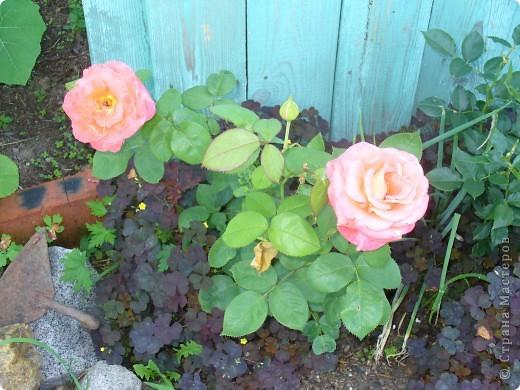 """Сейчас пионы уже не цветут, но благодаря фото, мы можем увидеть как они цвели весной.Сорт пиона """"Китайский шолк"""". фото 9"""