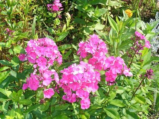 """Сейчас пионы уже не цветут, но благодаря фото, мы можем увидеть как они цвели весной.Сорт пиона """"Китайский шолк"""". фото 11"""