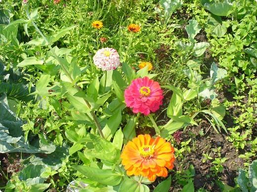 """Сейчас пионы уже не цветут, но благодаря фото, мы можем увидеть как они цвели весной.Сорт пиона """"Китайский шолк"""". фото 7"""