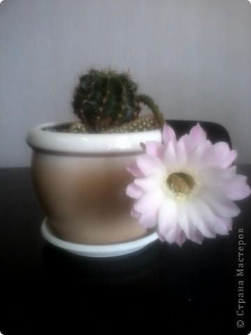 наш красавец кактус