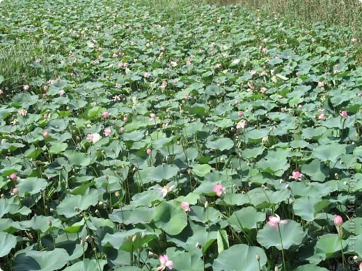 В астраханской области растет сказочный цветок - лотос - необычайной величины и расцветки! Он известен в дельте Волги более 200 лет, здесь его называют каспийской розой. С середины июля до сентября цветут плантации лотоса - море сине-зеленых листьев и розовых цветов, источающих нежный аромат. фото 14