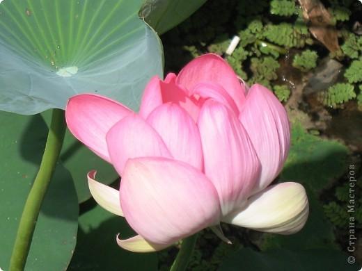 В астраханской области растет сказочный цветок - лотос - необычайной величины и расцветки! Он известен в дельте Волги более 200 лет, здесь его называют каспийской розой. С середины июля до сентября цветут плантации лотоса - море сине-зеленых листьев и розовых цветов, источающих нежный аромат. фото 1