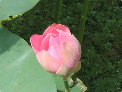 В астраханской области растет сказочный цветок - лотос - необычайной величины и расцветки! Он известен в дельте Волги более 200 лет, здесь его называют каспийской розой. С середины июля до сентября цветут плантации лотоса - море сине-зеленых листьев и розовых цветов, источающих нежный аромат. фото 8