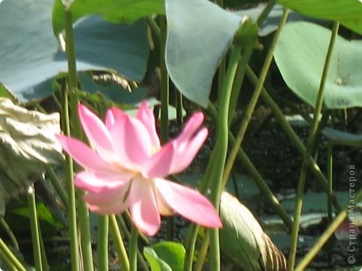 В астраханской области растет сказочный цветок - лотос - необычайной величины и расцветки! Он известен в дельте Волги более 200 лет, здесь его называют каспийской розой. С середины июля до сентября цветут плантации лотоса - море сине-зеленых листьев и розовых цветов, источающих нежный аромат. фото 9