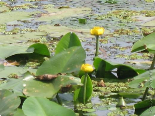 В астраханской области растет сказочный цветок - лотос - необычайной величины и расцветки! Он известен в дельте Волги более 200 лет, здесь его называют каспийской розой. С середины июля до сентября цветут плантации лотоса - море сине-зеленых листьев и розовых цветов, источающих нежный аромат. фото 12