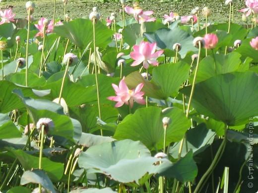 В астраханской области растет сказочный цветок - лотос - необычайной величины и расцветки! Он известен в дельте Волги более 200 лет, здесь его называют каспийской розой. С середины июля до сентября цветут плантации лотоса - море сине-зеленых листьев и розовых цветов, источающих нежный аромат. фото 3