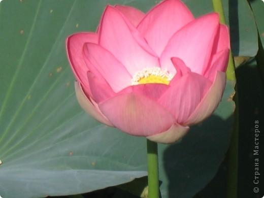 В астраханской области растет сказочный цветок - лотос - необычайной величины и расцветки! Он известен в дельте Волги более 200 лет, здесь его называют каспийской розой. С середины июля до сентября цветут плантации лотоса - море сине-зеленых листьев и розовых цветов, источающих нежный аромат. фото 13