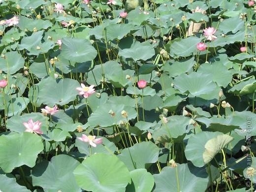 В астраханской области растет сказочный цветок - лотос - необычайной величины и расцветки! Он известен в дельте Волги более 200 лет, здесь его называют каспийской розой. С середины июля до сентября цветут плантации лотоса - море сине-зеленых листьев и розовых цветов, источающих нежный аромат. фото 4