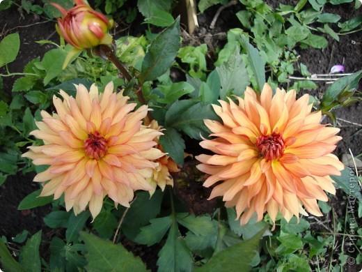 Всем    ПРИВЕТ! Вот мой  цветочки,  это для вас чтобы порадовать всех, всех... фото 1
