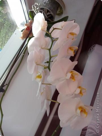 Маме в прошлом году на день рождение подарили  орхидею.Было первоначально всего 3 цветка.Когда они оцвели, мы хотели отрезать веточку, но нам посоветовали, что побег отрезать не нужно.Так через пол года - вот такая красота 14 цветков и 6 цветков в запасе!!!! фото 2
