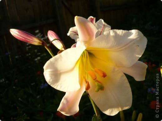Приглашаю вас прогуляться по моему участку. в своем доме мы живем только 6 лет, до этого всю жизнь прожила в квартире. Очень люблю лилии, поэтому и свой цветник начала создавать с посадки именно этих цветов. фото 2