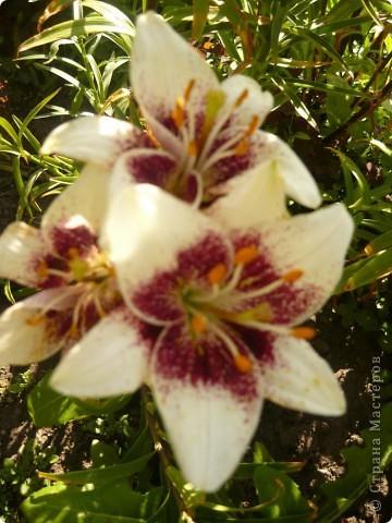 Приглашаю вас прогуляться по моему участку. в своем доме мы живем только 6 лет, до этого всю жизнь прожила в квартире. Очень люблю лилии, поэтому и свой цветник начала создавать с посадки именно этих цветов. фото 4