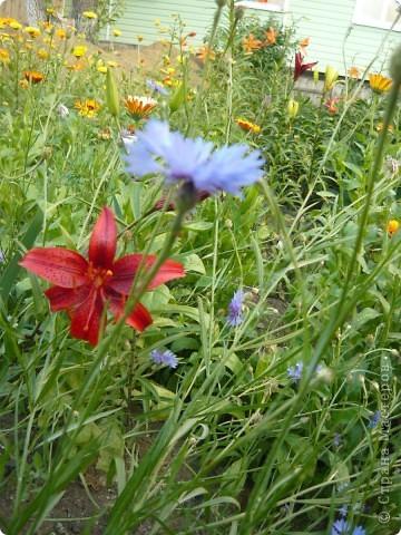 Приглашаю вас прогуляться по моему участку. в своем доме мы живем только 6 лет, до этого всю жизнь прожила в квартире. Очень люблю лилии, поэтому и свой цветник начала создавать с посадки именно этих цветов. фото 12